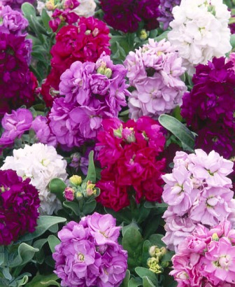 58696017_stocks_matthiola_incana_cinderala1